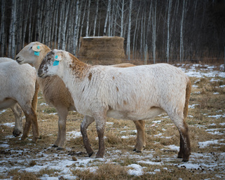 Katahdin Sheep in Alberta Canada