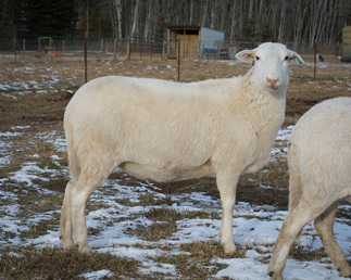 Registered Katahdin ewe at Landing Trail Katahdin Sheep in Alberta Canada