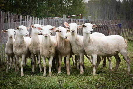 Part of our flock of Katahdin sheep in Alberta Canada
